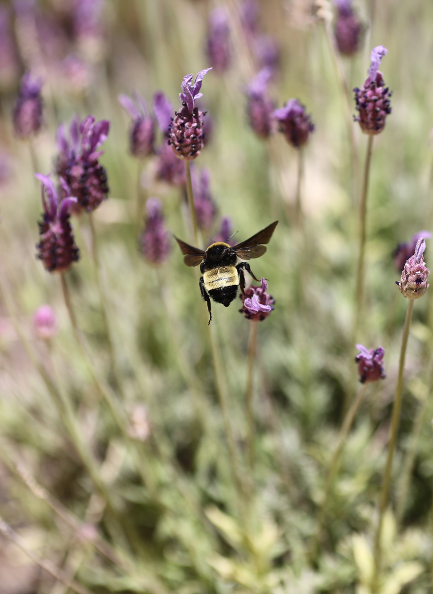Bee in flight and Spanish lavender